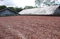 secagem das sementes do cacau