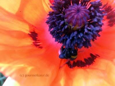 Mohn-Blüte mit Biene