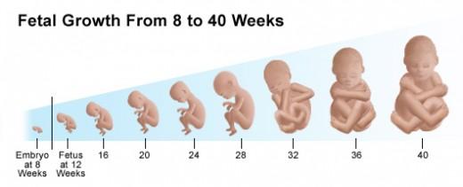 graviditet uger