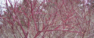 red osier dogwood twigs