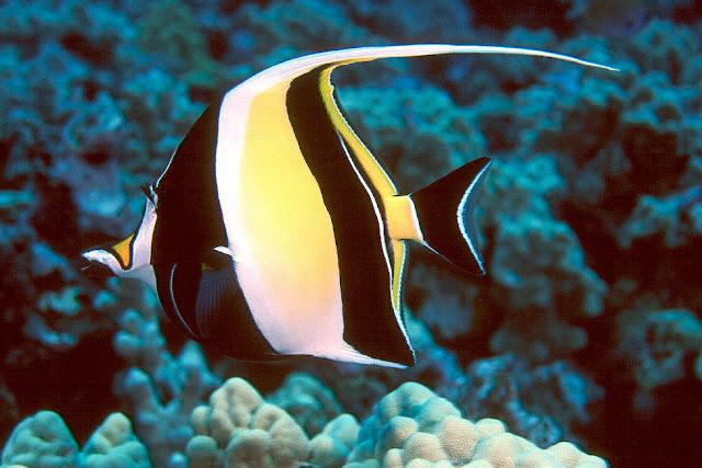 أجمل 10 أسماك ملونة في عالم البحار '' بالصور '' Moorish-Idol1.jpg