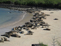 Hundreds of Sea Lions Basking in Sun on Gardner Bay Beach Galapagos