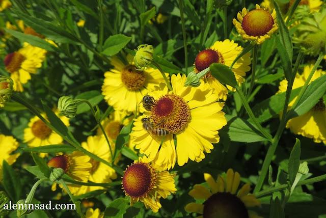 сад в августе, клумбы, рудбекия, гелениум, гладиолусы, аленин сад,