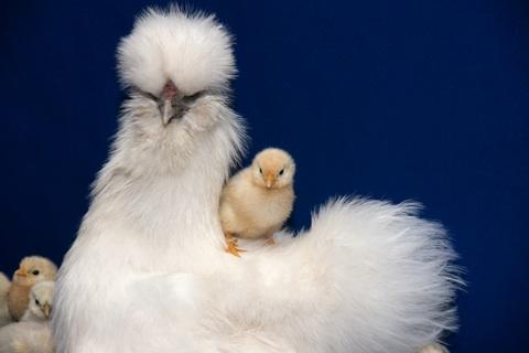 chicken breeds images. chicken breeds. rare reeds