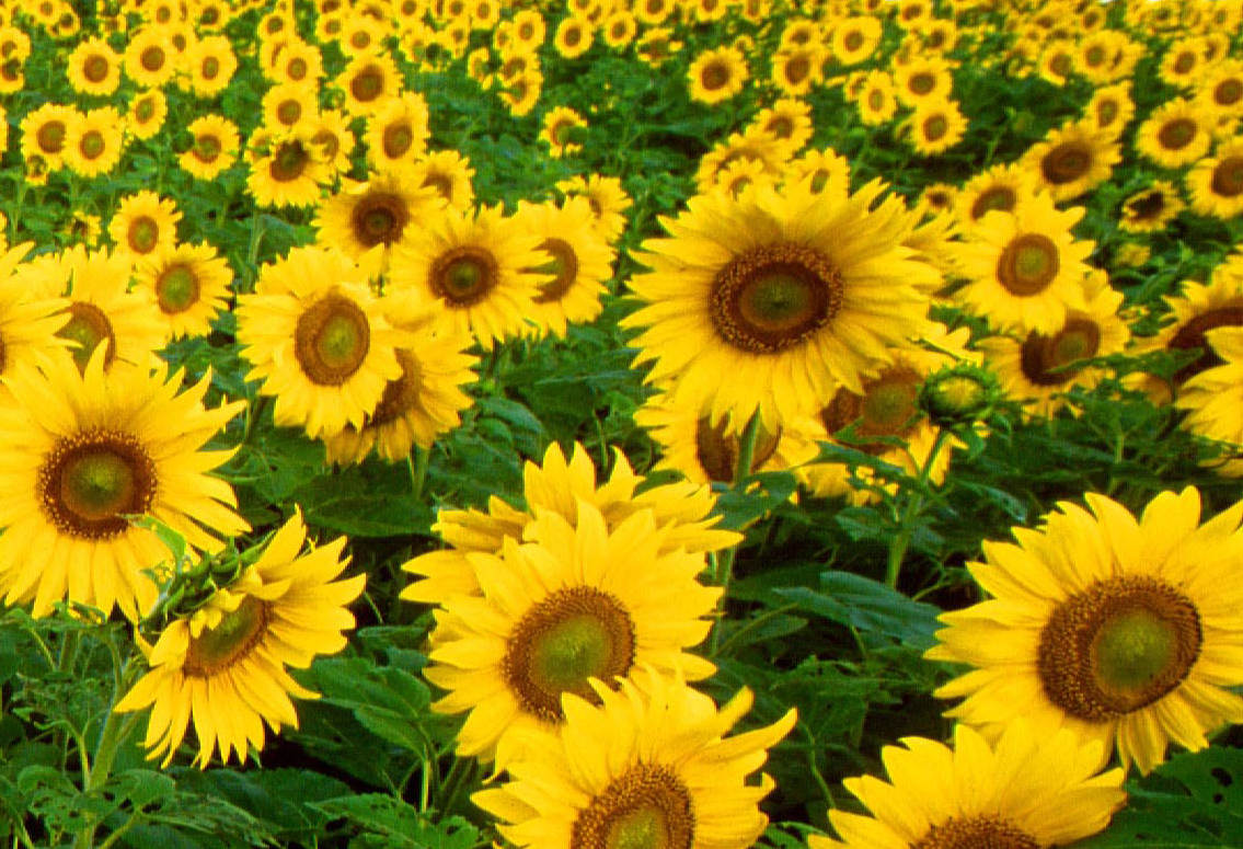 Mrs M's Maths Musings: Turing's Sunflowers