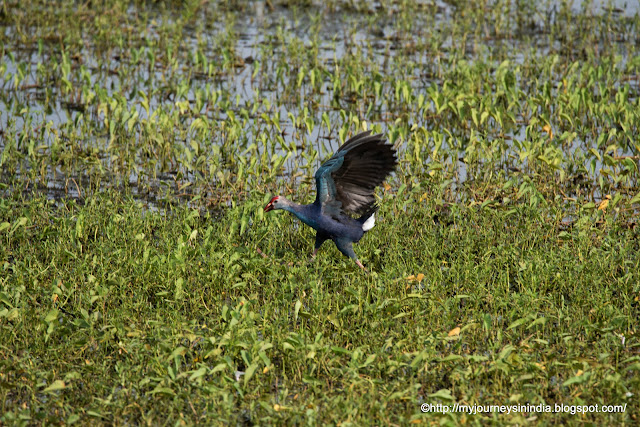 Purple swamphen on the way to Bandipur
