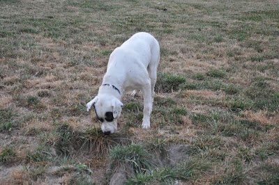 Lucky sniffs the ground