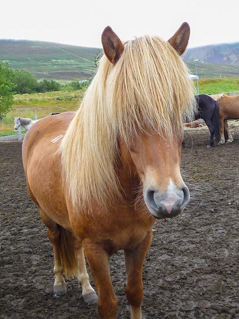 Islandzki koń - Kartki z podróży
