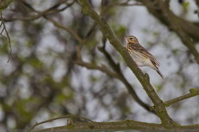 Boompieper - Tree Pipit - Anthus trivialis