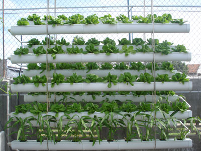 Thủy canh với việc sản xuất rau sạch