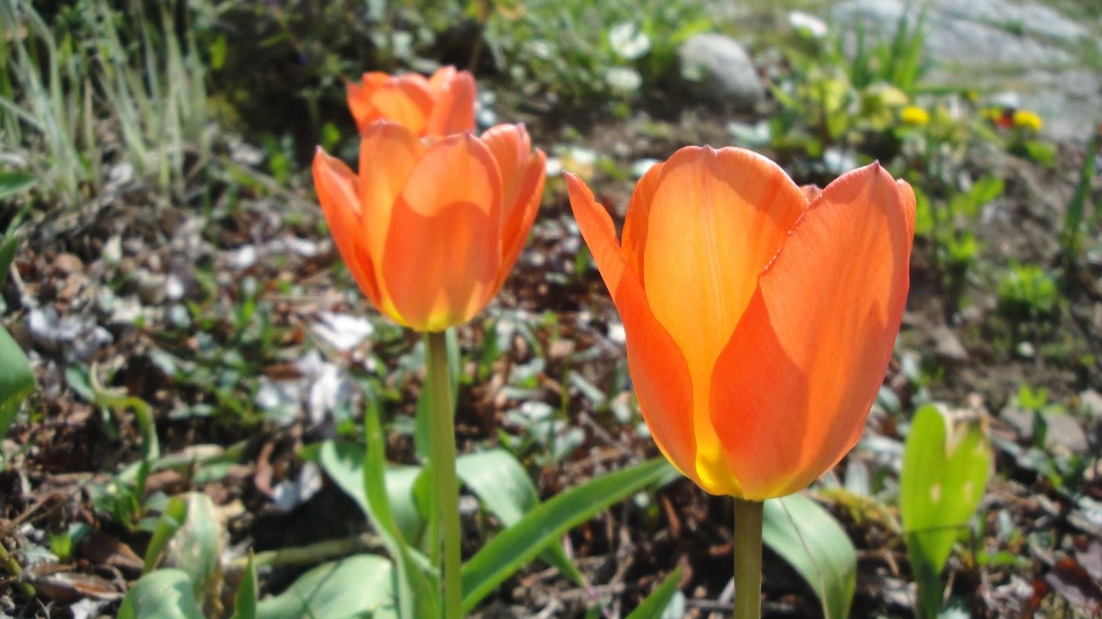 tulpan orange emperor