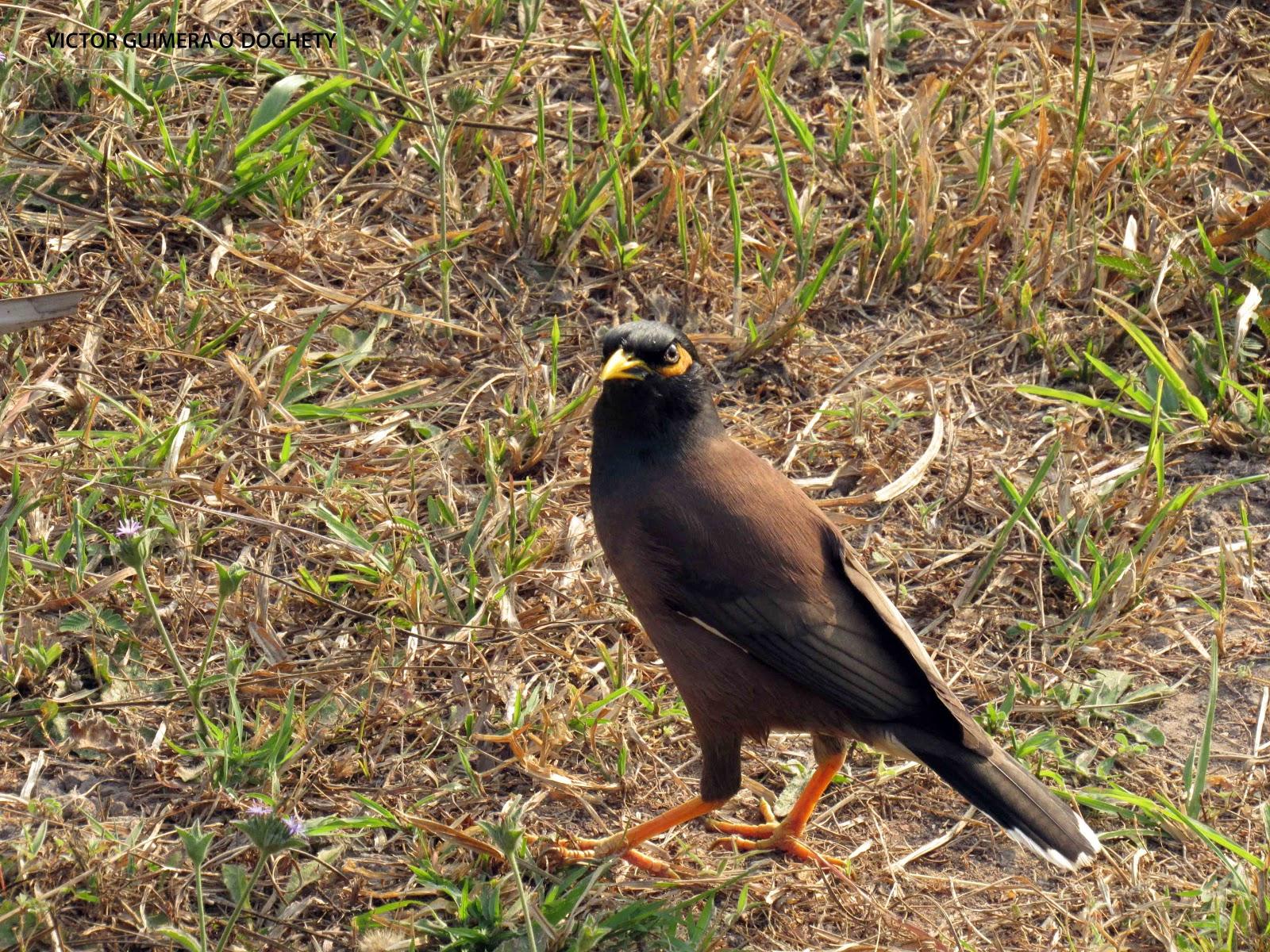 Mis im genes de aves de nuevo el mina comun for Pececillo nuevo de cualquier especie