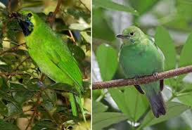 cara membedakan cucak hijau jantan dan betina termudah