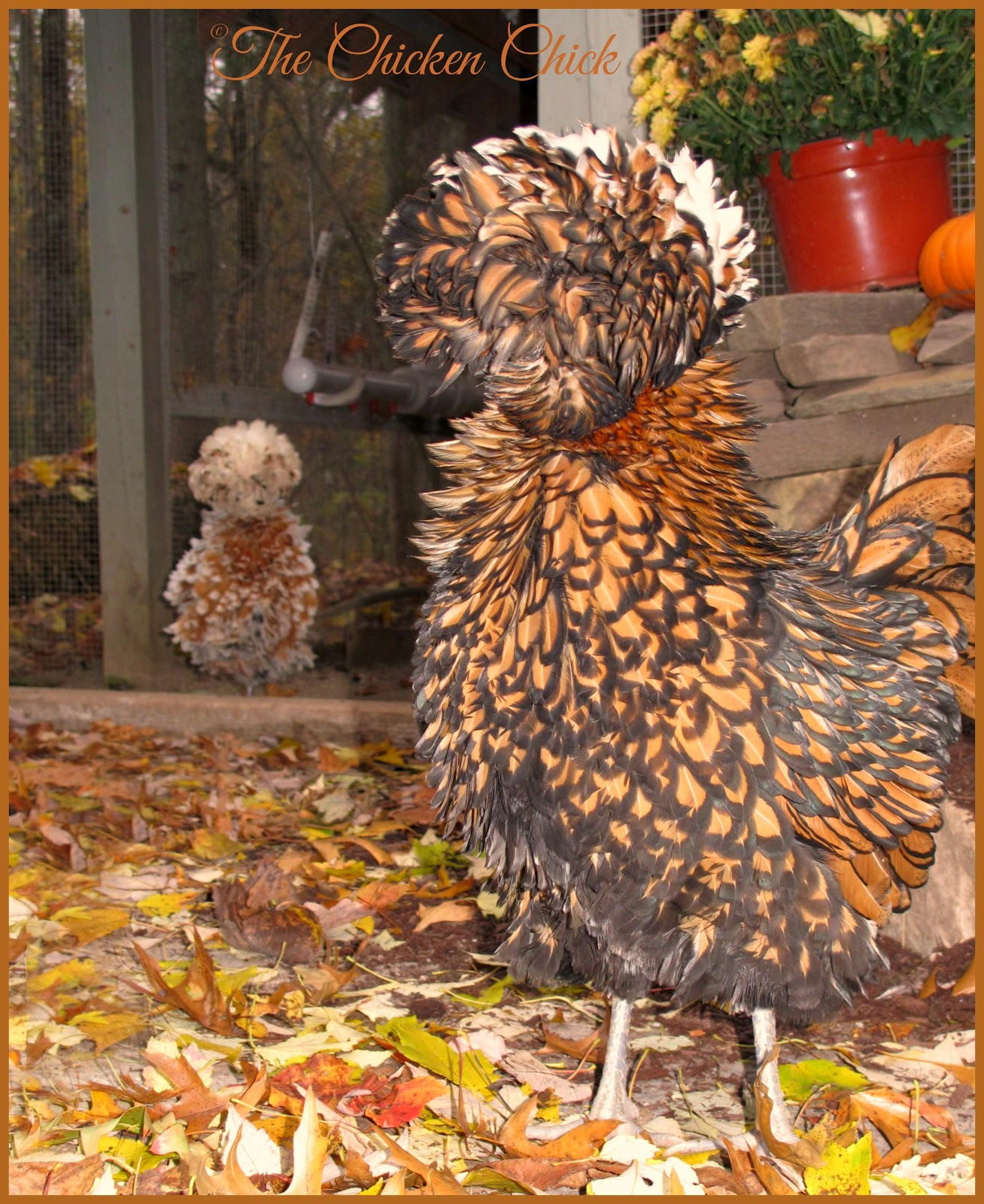 Tolbunt Polish Frizzle hens