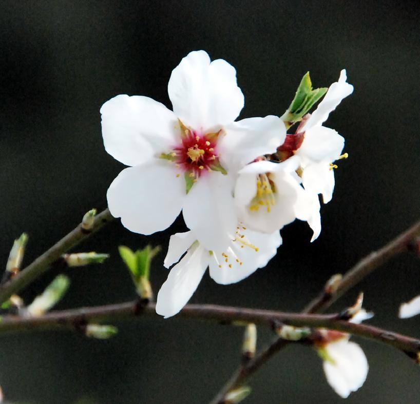 Fotos de flores el rbol y las flores del almendro - Arbol de rosas ...