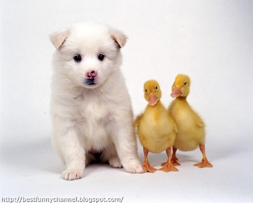 Puppy and  Ducklings .