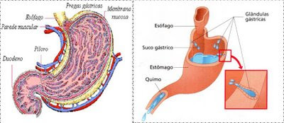 Digestão do bolo alimentar no estômago