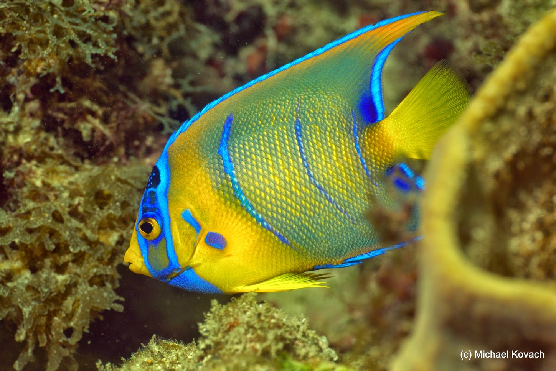 Cordova dive blog 29 june 2014 for Queen angel fish