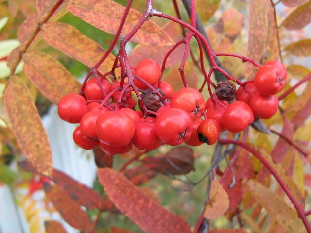 pihlaja syksyllä