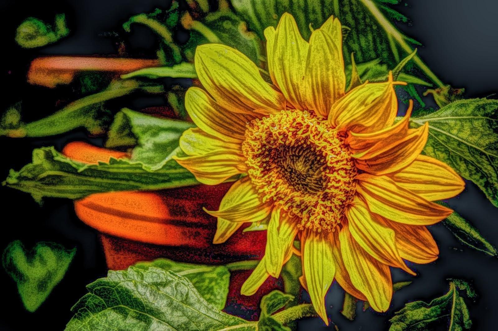 sun flower public domain picture edited using Paintereque