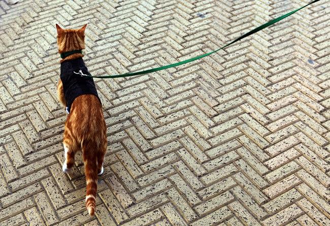 ¿Hay que pasear a los gatos?