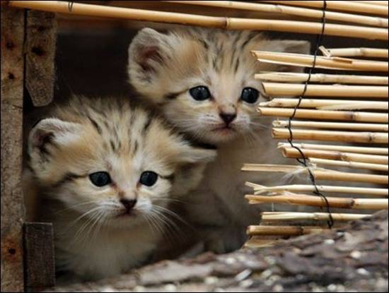 sand-cats