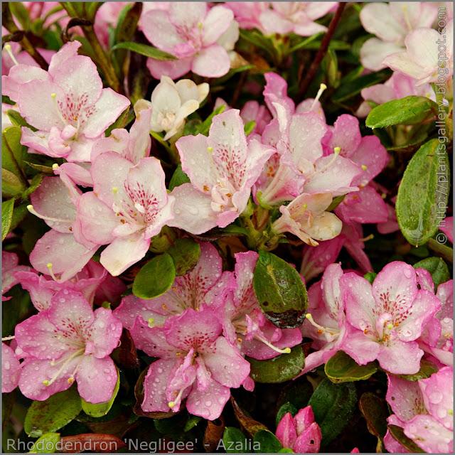 Rhododendron 'Negligee' - Azalia  'Negligee' kwiaty