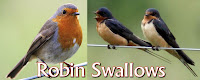 Robin Swallows