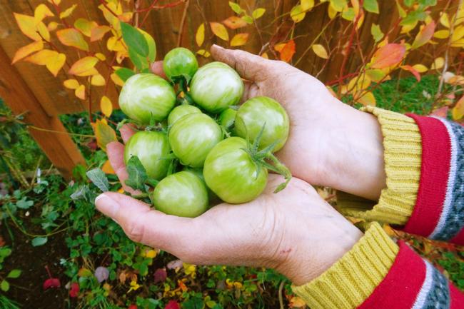 autumn, garden, green versace tomatoes, tomatoes