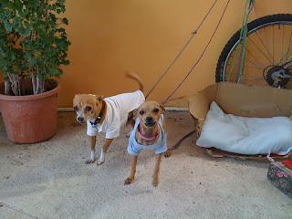 The Chihuahuas, Dookie and Muñeca, at Juan's house in Isla Mujeres