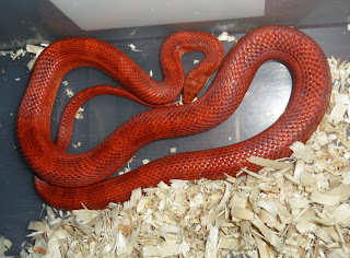 pied-sided bloodred corn snake