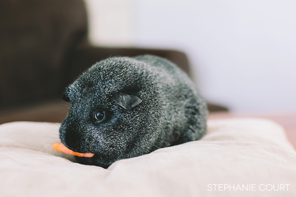 guinea pig eating carrots