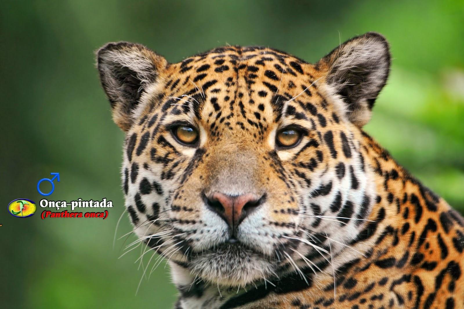 Famosos Zoologia: Onça-pintada (Panthera onca) NB64