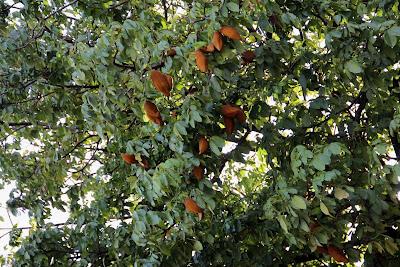 Frutos da Monguba (Pachira aquatica Aubl)