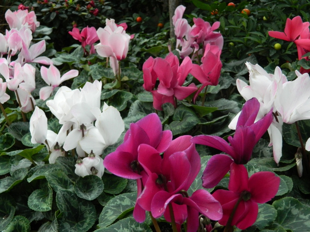 Toronto Allan Gardens Conservatory Spring Flower Show 2013 pink, white and violet cyclamen flowers by garden muses: a Toronto gardening blog