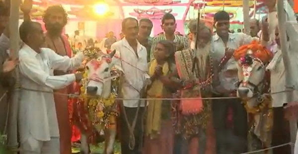 حوالي 5 آلاف هندي، يشاركون في حفل زفاف بقرة