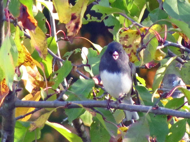 dark-eyed junco speaks