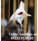 Chim Chao Mao, Chim Chao Mao Mong Trang
