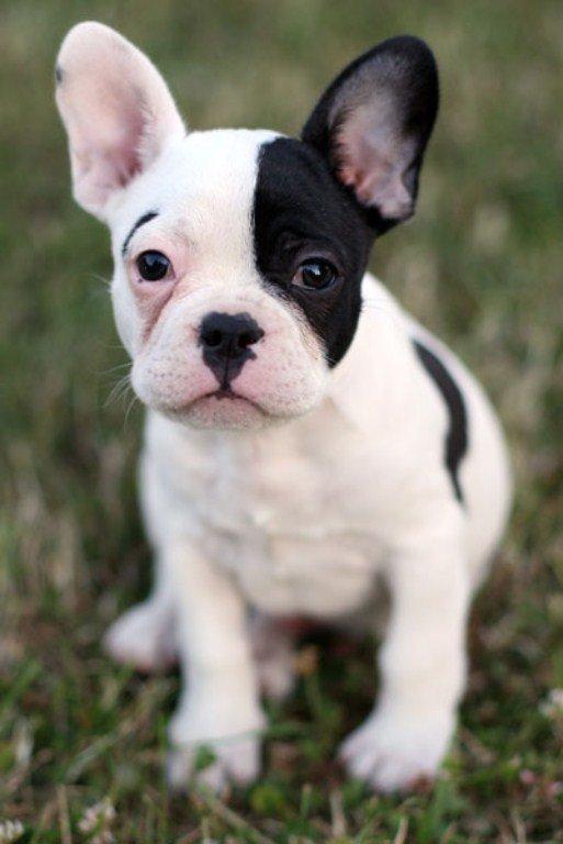 cechy charakteru, jak nauczyć psa, jak wybrać psa, jaką rasę wybrać, Krótko o rasach, nauka komend, pochodzenie rasy, Buldog francuski, buldożek, szkolenie, wychowanie, Wrocław,