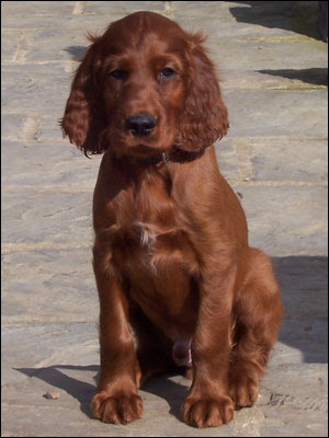 Irish Setter Puppies on Irish Setter Puppies Photos   Puppies Pictures Online