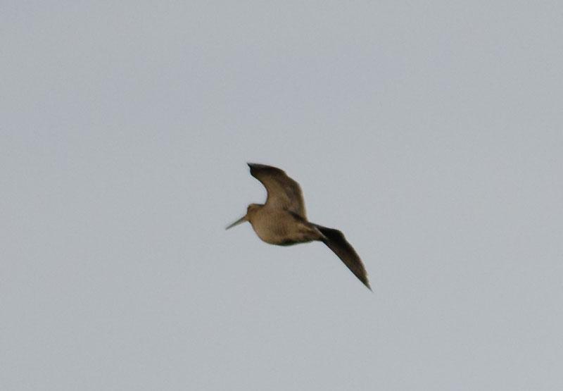 Woodcock flying