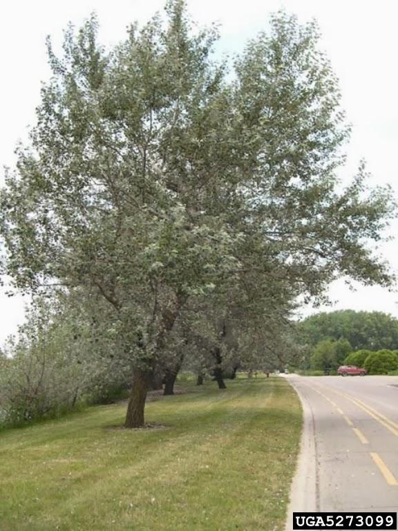 White Poplar Tree Leaf Trees Planet: P...