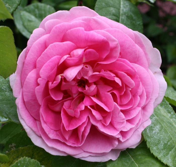 Il piccolo giardino di l una rosa inglese molto for Rosa inglese