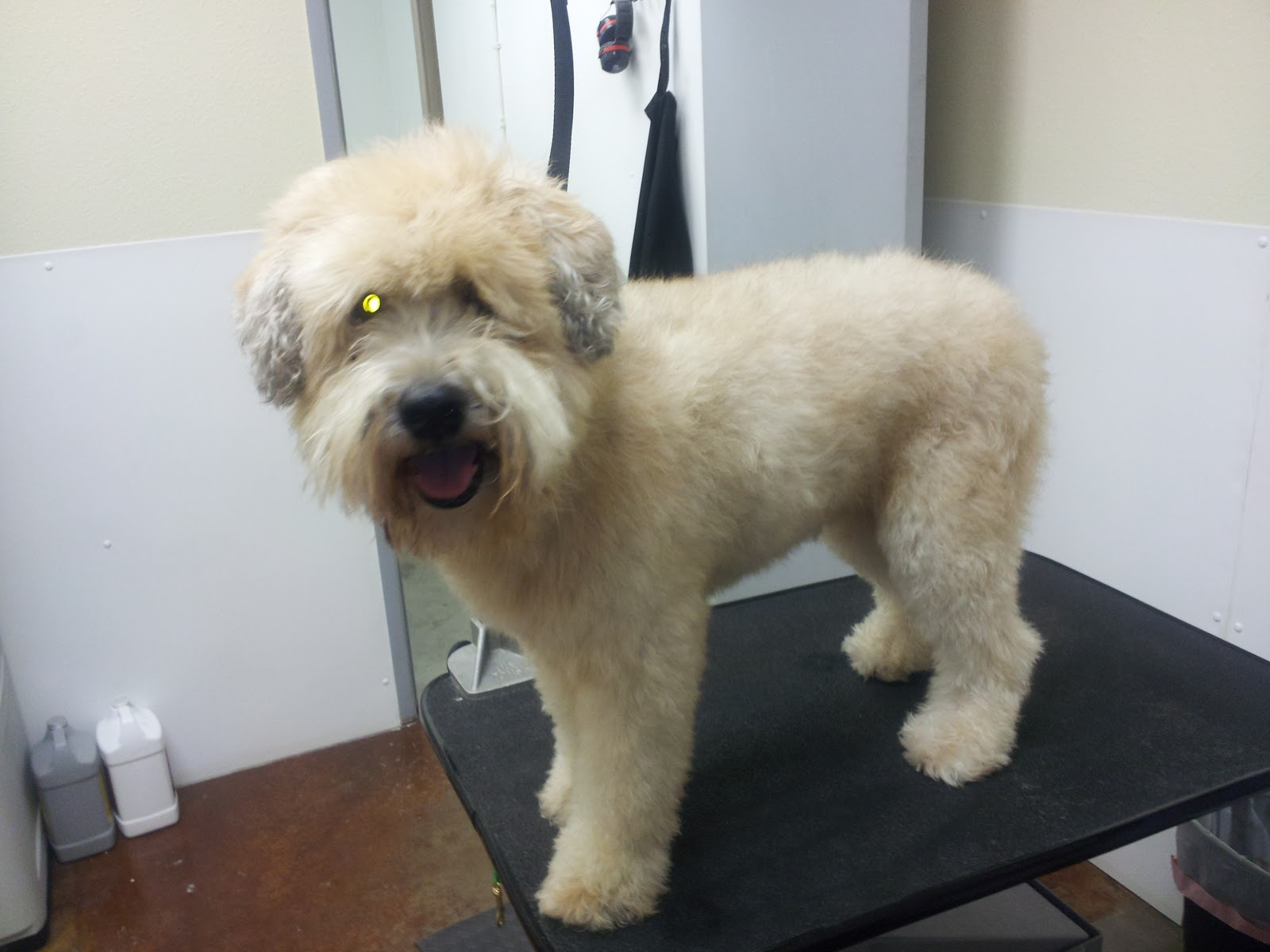 Wheaten Terrier Haircut Styles Hairs Picture Gallery