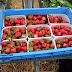 草莓日記(七) 上工記 上篇