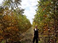 Eucalyptus pellita plantation