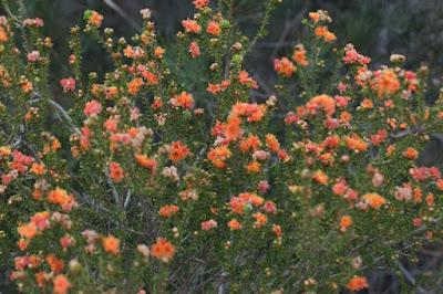 Sticky Eremaea (Eremaea beaufortioides)