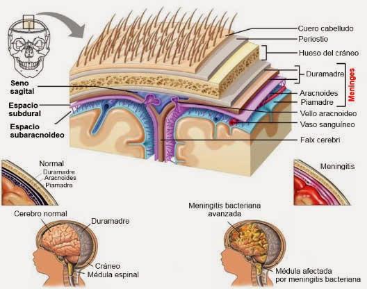 Biopsicología sistémica: Meninges y meningitis