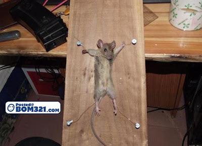 Tikus Kena Seksa (18+)