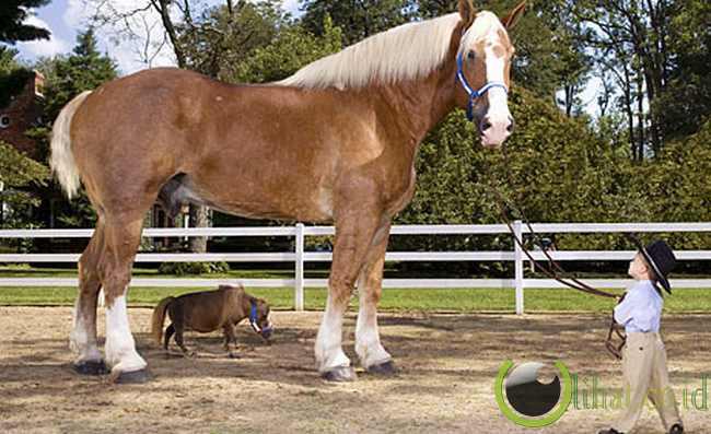 Kuda Terbesar Bertemu Dengan Kuda Terkecil